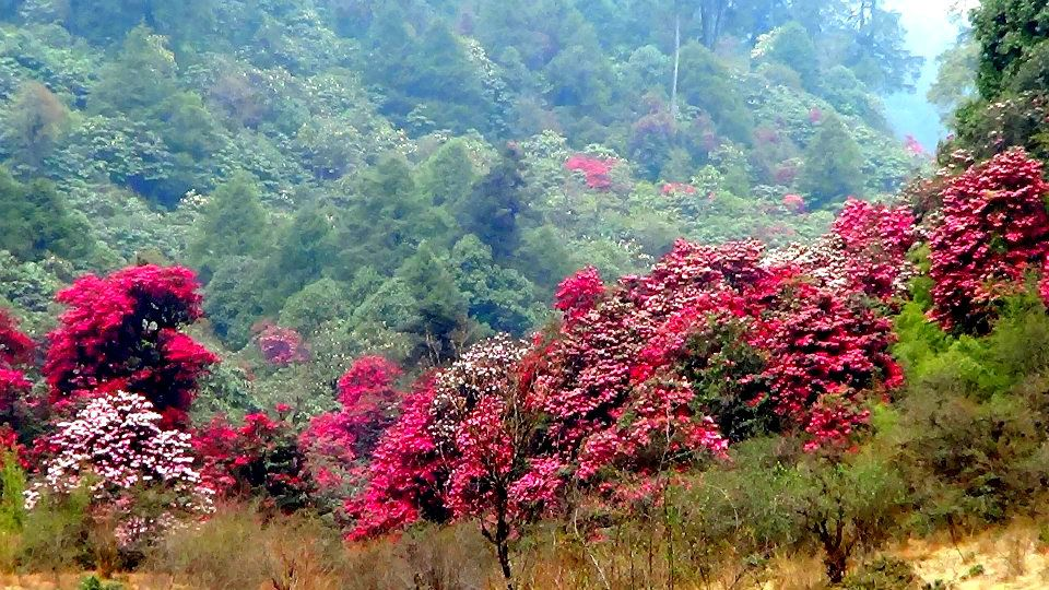 Varsey, a Rhododendron Sanctuary in West Sikkim is a traveler's paradise